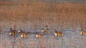 Northern Pintail Males stock video footage