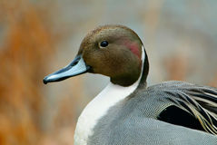 Northern pintail portrait Royalty Free Stock Images