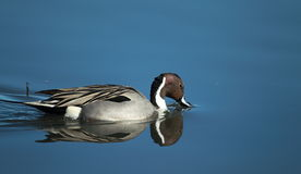 A Northern Pintail swims with a reflection. A Northern Pintail feeds in a wetland Royalty Free Stock Images