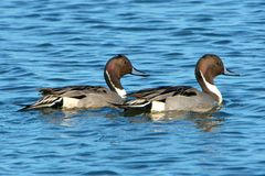 Northern Pintails Stock Photo