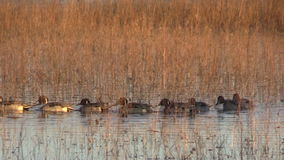 Northern Pintails stock video