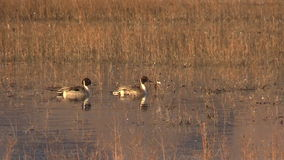Northern Pintails Swimming stock footage