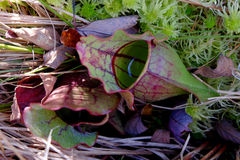 Northern Pitcher Plant Stock Images