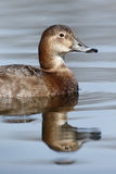 Northern pochard, Aythya ferina Stock Image