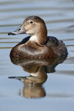 Northern pochard, Aythya ferina Stock Images