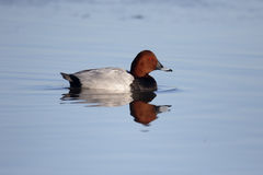 Northern pochard, Aythya ferina Royalty Free Stock Photography