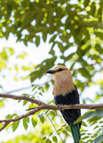 Northern purple roller called Coracias naevius naevius Stock Image