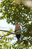 Northern purple roller called Coracias naevius naevius Royalty Free Stock Photos