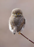 Northern Pygmy Owl - Glaucidium gnoma Stock Photography