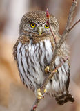 Northern Pygmy Owl - Glaucidium gnoma Royalty Free Stock Images