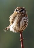 Northern Pygmy Owl - Glaucidium gnoma Stock Image