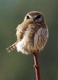 Northern Pygmy Owl - Glaucidium gnoma Stock Image