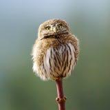 Northern Pygmy Owl - Glaucidium gnoma Stock Images