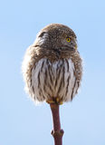 Northern Pygmy Owl -  Glaucidium gnoma - Side Profile Stock Photos