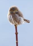 Northern Pygmy Owl - Glaucidium gnoma Stock Photo