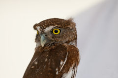 Northern Pygmy Owl Stock Image