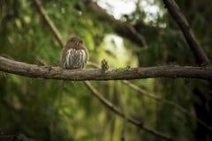 Northern Pygmy Owl Stock Photos
