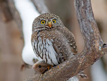 Northern Pygmy-Owl Stock Photos