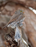 Northern Pygmy-Owl Stock Images