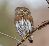Northern Pygmy-Owl Royalty Free Stock Image