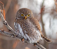 Northern Pygmy-Owl Royalty Free Stock Photo