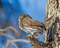 Northern Pygmy-Owl Stock Image