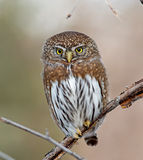 Northern Pygmy-Owl Stock Photography