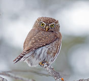Northern Pygmy-Owl. During a southern Alberta winter a Northern Pygmy-Owl waits patiently while looking for telltale movement in the undergrowth.  Adult Owls are Stock Photo