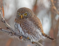 Northern Pygmy-Owl Royalty Free Stock Photos