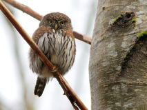 Northern Pygmy-Owl Stare Royalty Free Stock Photos