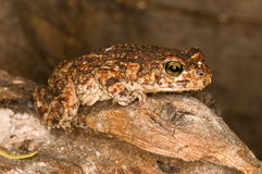 Northern pygmy toad Stock Photography