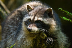 Northern Raccoon. Raccoon (Procyon lotor) is a common omnivore and semi-aquatic forager throughout North America Stock Photography