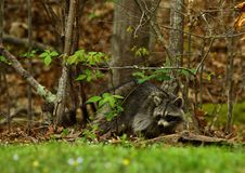 Northern Raccoon Royalty Free Stock Photo
