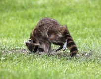 Northern Raccoon (Procyon lotor) Royalty Free Stock Image