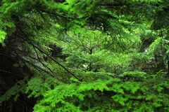 Northern Rain forests. In bc Stock Image