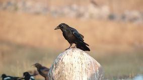 Northern Raven Jumps on Rock. Northern Raven, Corvus corax, jumps and croaks on rock covered with white droppings stock video