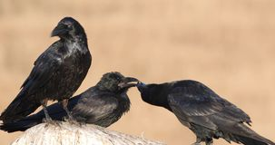 Northern ravens struggling on rock. Three Northern ravens, corvus corax, are fighting on rock to conquer the rock stock footage