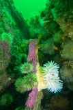Northern red anemone Royalty Free Stock Photo