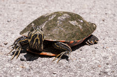 Northern red-bellied Cooter Royalty Free Stock Photography