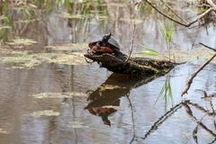 Northern Red-bellied turtle basking on a log in a pond stock photo