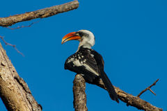 The northern red-billed hornbill bird Royalty Free Stock Photo