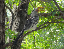 Northern red-billed hornbill Royalty Free Stock Images