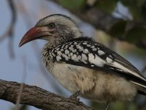 Northern red-billed hornbill sitting on branch royalty free stock images