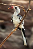Northern red-billed hornbill (Tockus erythrorhynchus). Stock Photography