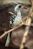 Northern red-billed hornbill (Tockus erythrorhynchus). Royalty Free Stock Image