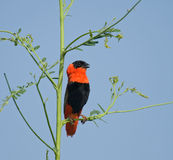 Northern Red Bishop Royalty Free Stock Photo