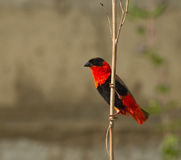Northern Red Bishop Stock Images