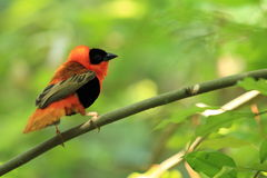 Northern red bishop Stock Photos