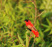 Northern Red Bishop Stock Photography