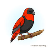 Northern red bishop bird educational game vector Royalty Free Stock Photo